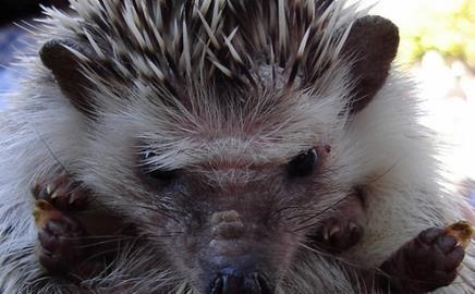 hedgehog (c) felixion