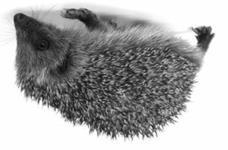 Erinaceous Hedgehog