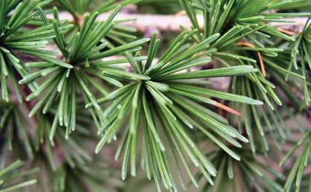 A beginner's guide to trees. This week, we have the larch