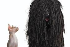 Hairy dog and bald cat